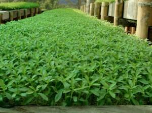 stevia-revistachacra